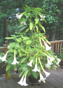 Angel's Trumpet in Converted Self Watering Container
